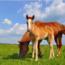 Conceptos básicos de morfología y fisiología de los rumiantes, cerdos, conejos, caballos y aves